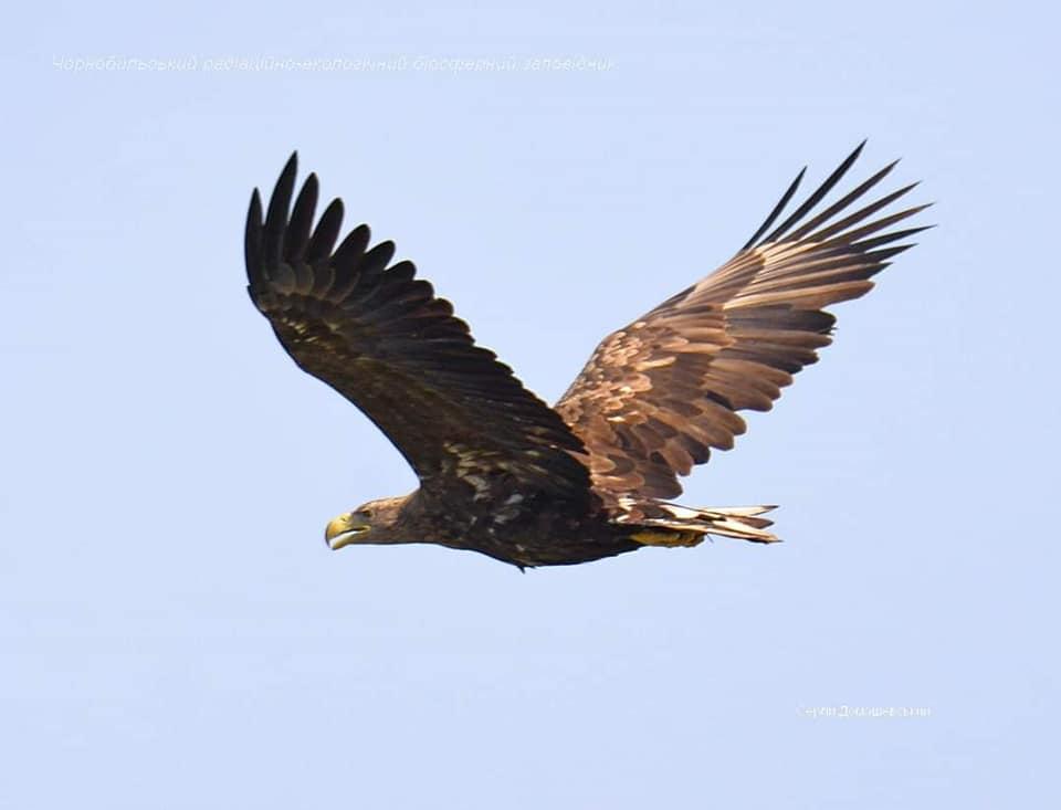 У Чорнобильській зоні помітили рідкісних птахів -  - orlan