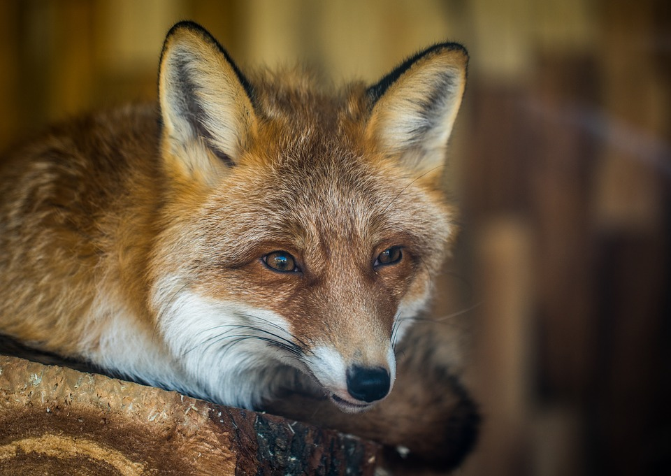 У вересні в Україні розпочинається кампанія з імунізації диких м'ясоїдних тварин -  - 02 skaz