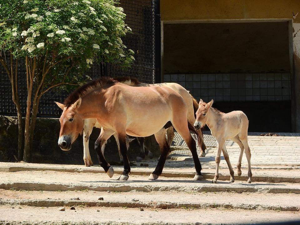 У США клонували померлого 22 роки тому коня Пржевальського -  - 09 kon