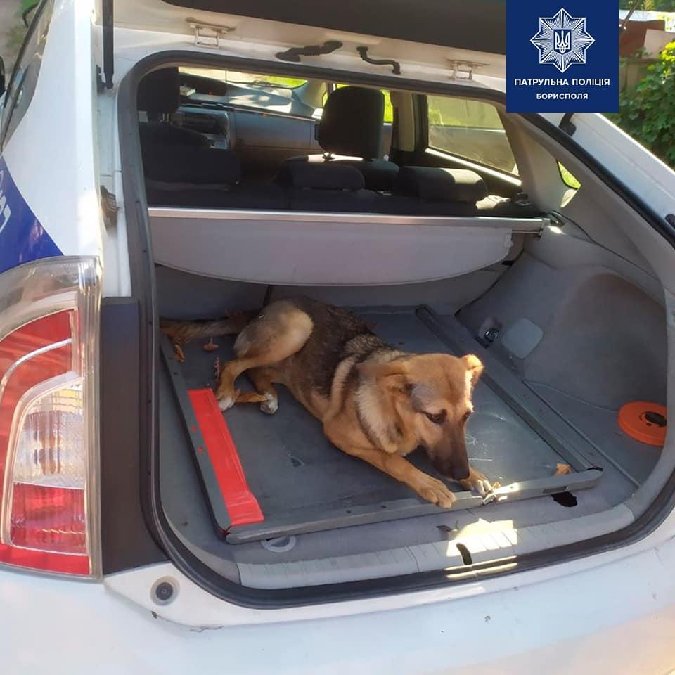 Бориспіль: водій авто на очах у патрульних збив собаку - собака, Поліція - 119470302 2807722472782870 6148133854045321061 n