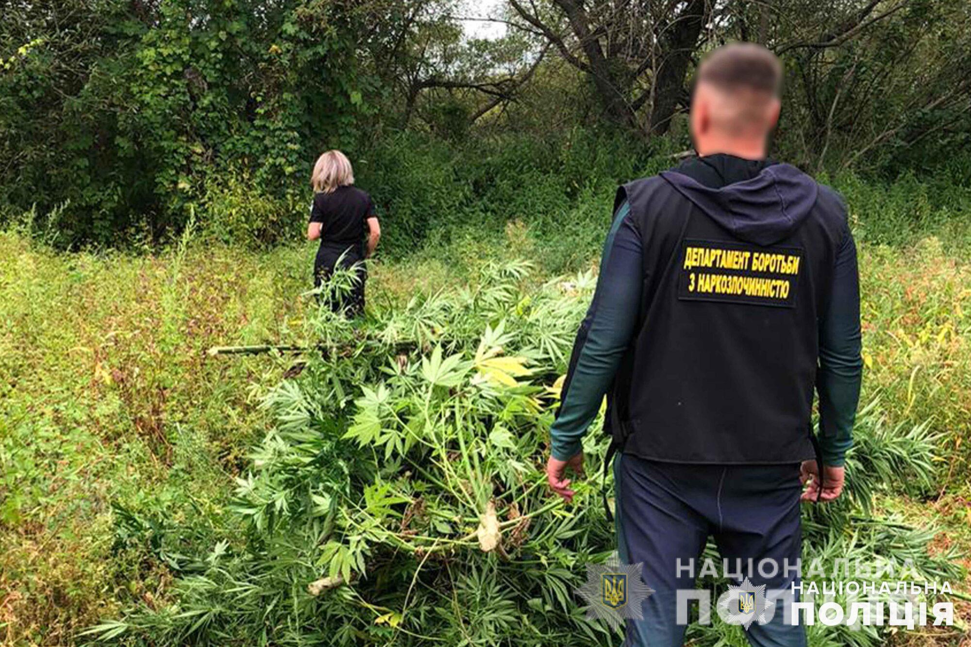 У сквирському лісі виявили таємну плантацію конопель (відео) - Сквира, поліція Київської області, коноплі - Konoplya 6 2000x1333