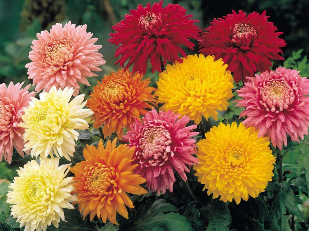Тандем хризантем та солодощів: нові ідеї фестивалю на Співочому полі - квіти, виставка - 2720577