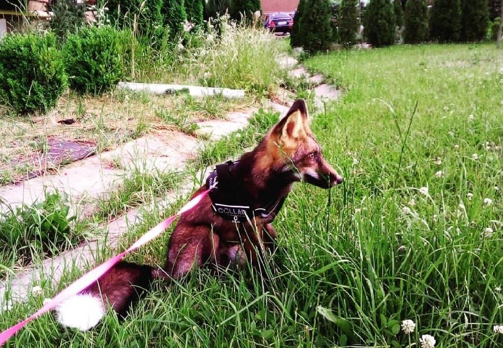 Зник незвичайний улюбленець: у Ворзелі та Рубежівці розшукують домашнього лиса - - 124247091 3199765133467452 6491588858603541534 o