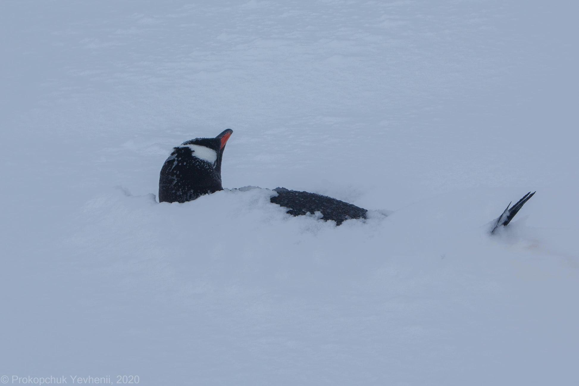 «Пінгвіни та полярники в шоці»: станцію «Академік Вернадський» замело снігом - експедиція, Антарктика - 12 vernadskogo5