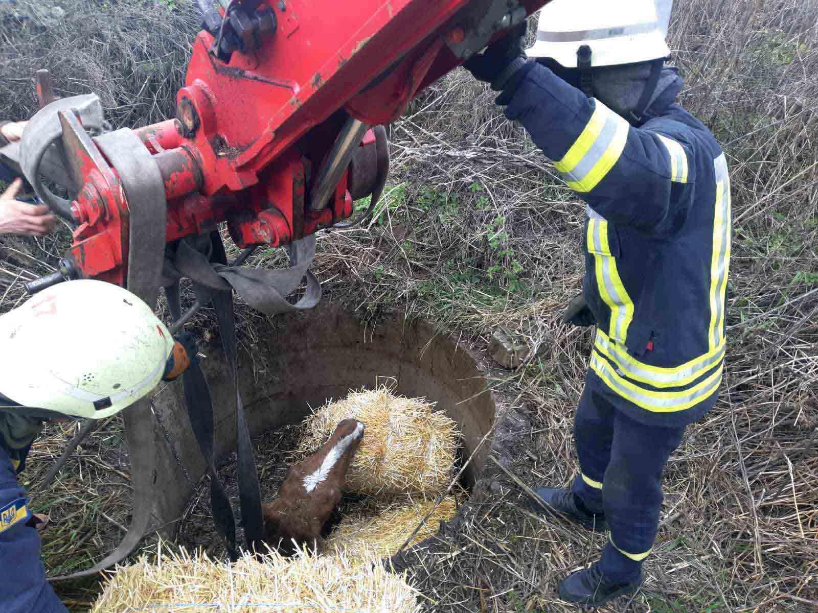 Операція «кінь»: рятувальники  Обухівщині витягли з криниці лоша - тварина, рятувальники, порятунок життя - 13