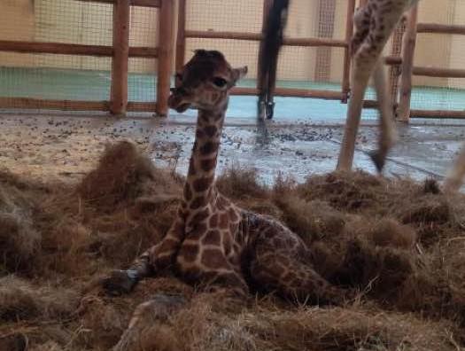 У зоопарку на Вишгородщині народилось жирафеня - конкурс, зоопарк, Вишгородський район - ZHYRAF OBR