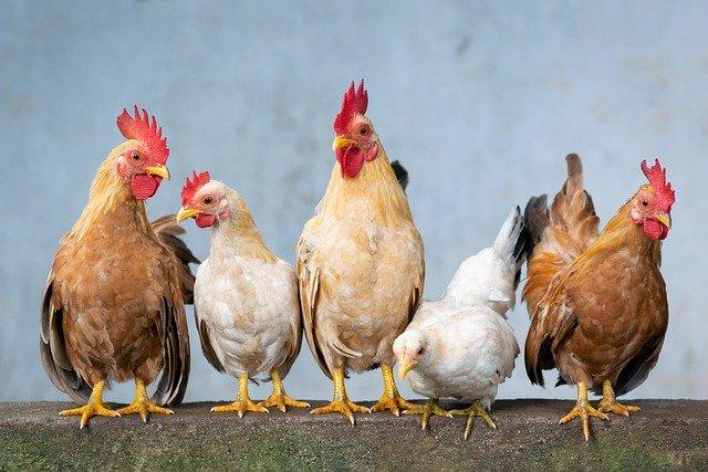 В Україні невпинно зменшується поголів'я худоби - фермерські господарства, Сільське господарство - chicken 4849979 640