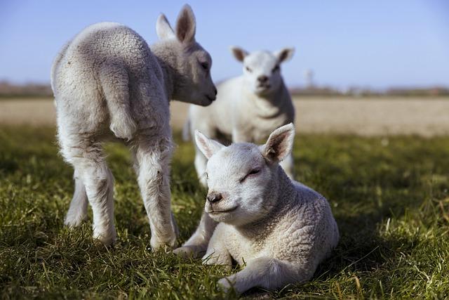 В Україні невпинно зменшується поголів'я худоби - фермерські господарства, Сільське господарство - lambs 5074389 640