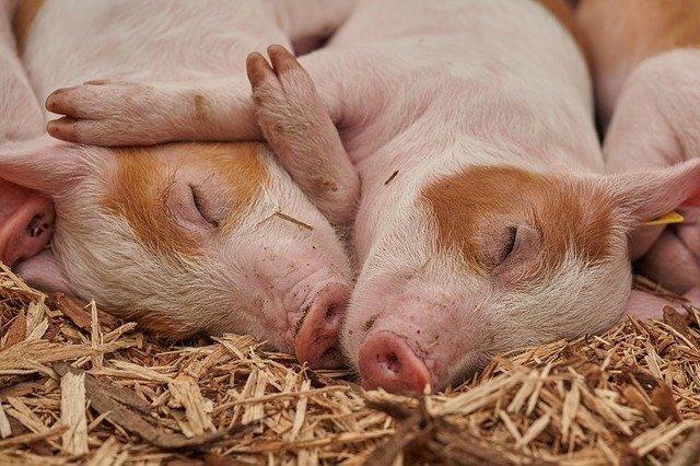 В Україні невпинно зменшується поголів'я худоби - фермерські господарства, Сільське господарство - piglet 3386356 640