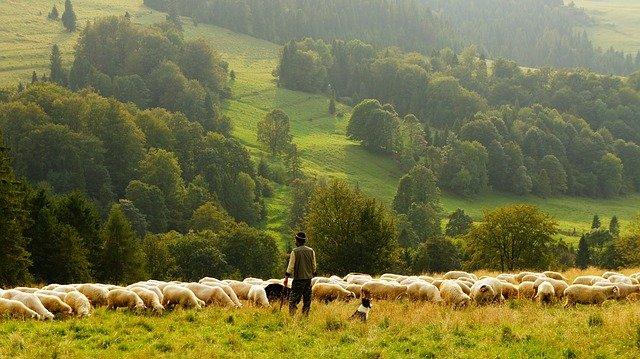 В Україні невпинно зменшується поголів'я худоби - фермерські господарства, Сільське господарство - sheep 690198 640