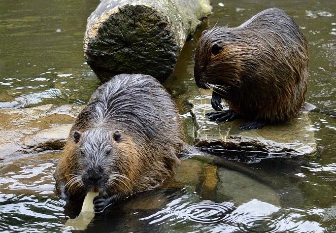 На перший другий розрахуйсь: в Україні розпочався «перепис» бобрів - Тварини, тварина, захист тварин, екосистема, екологія - 01 bober