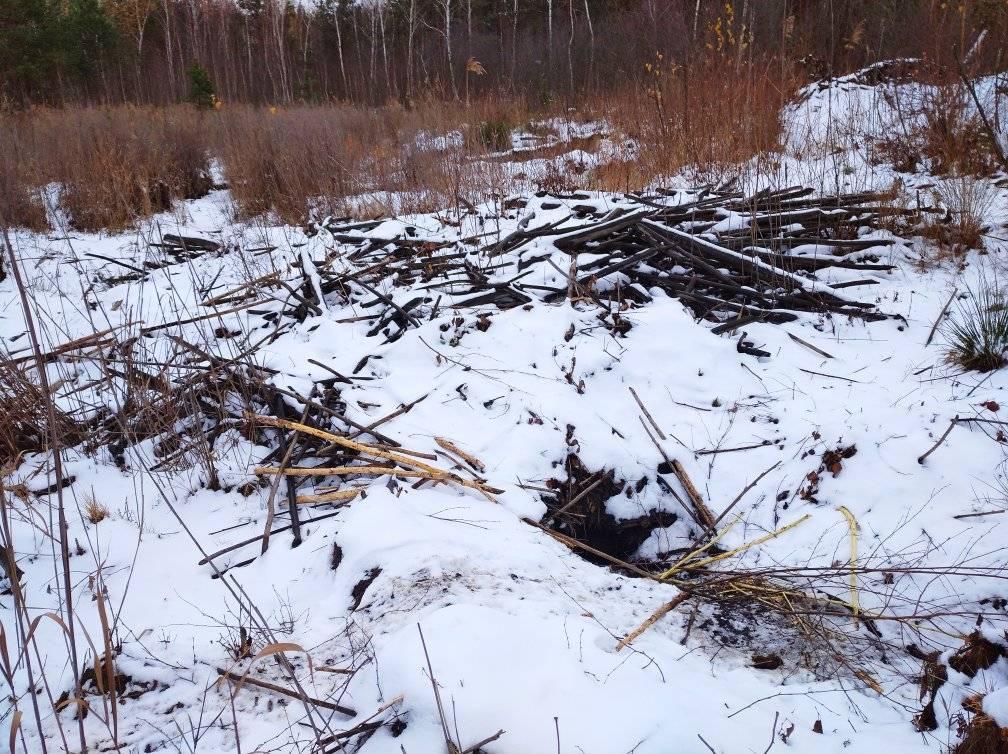 На перший другий розрахуйсь: в Україні розпочався «перепис» бобрів - Тварини, тварина, захист тварин, екосистема, екологія - 01 bober3