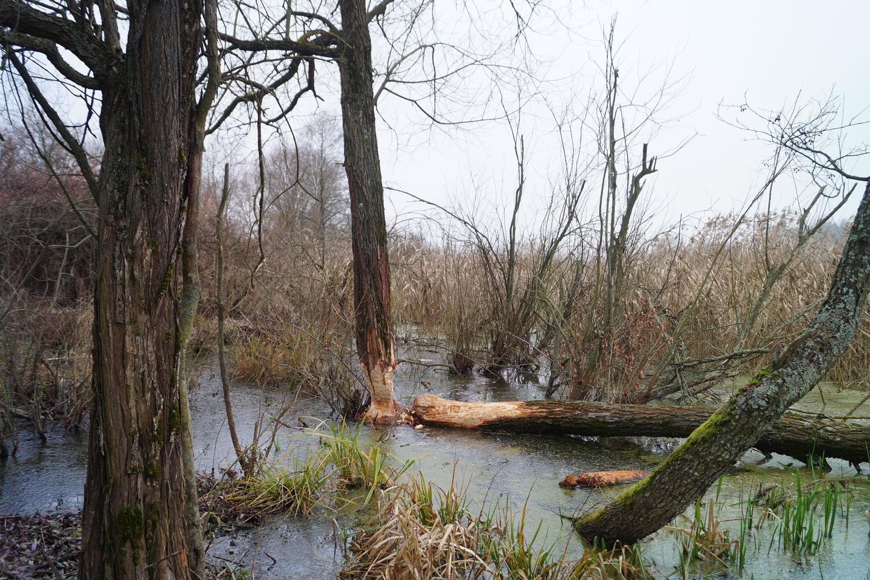 На перший другий розрахуйсь: в Україні розпочався «перепис» бобрів - Тварини, тварина, захист тварин, екосистема, екологія - 01 bober4