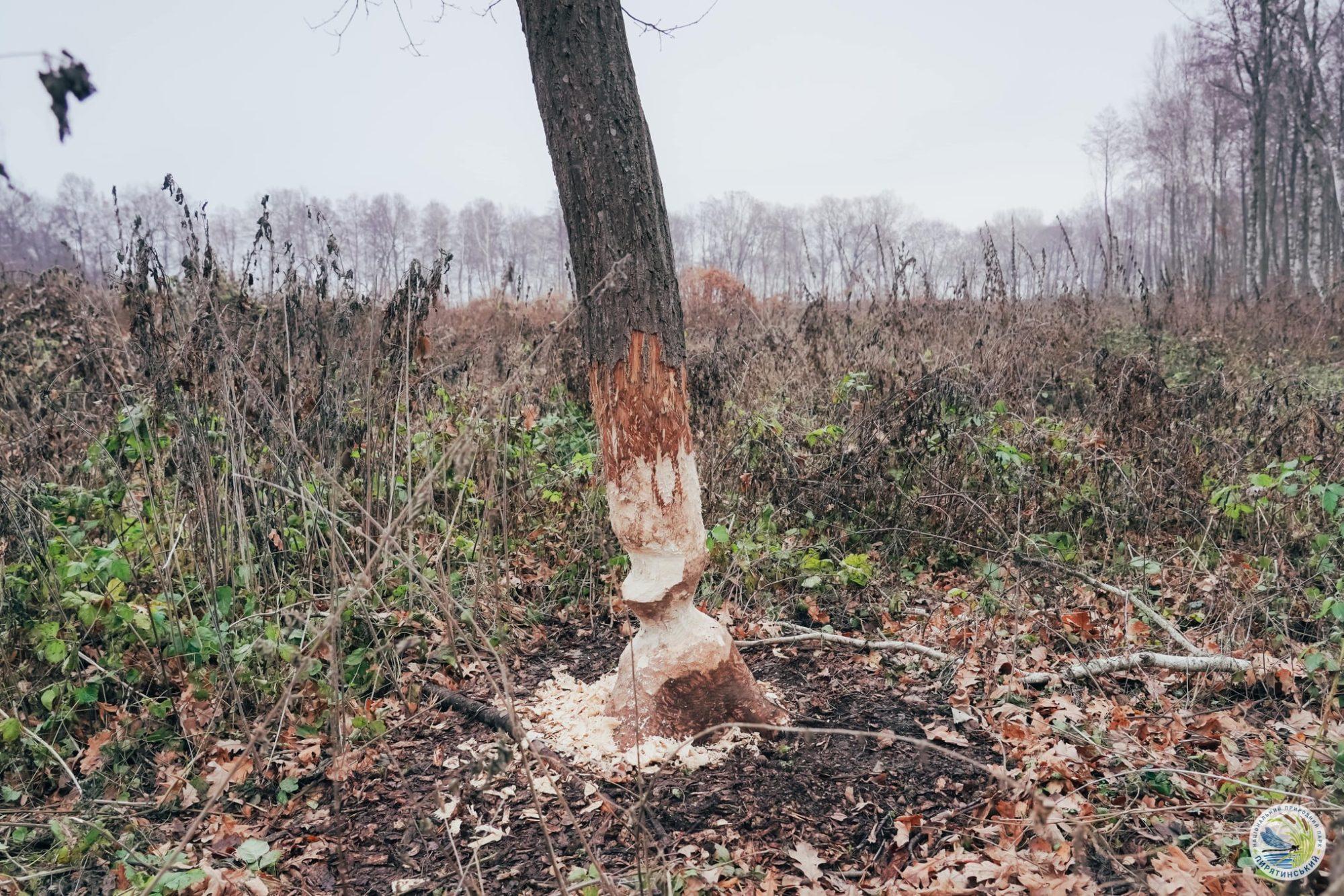 На перший другий розрахуйсь: в Україні розпочався «перепис» бобрів - Тварини, тварина, захист тварин, екосистема, екологія - 01 bober5 2000x1333