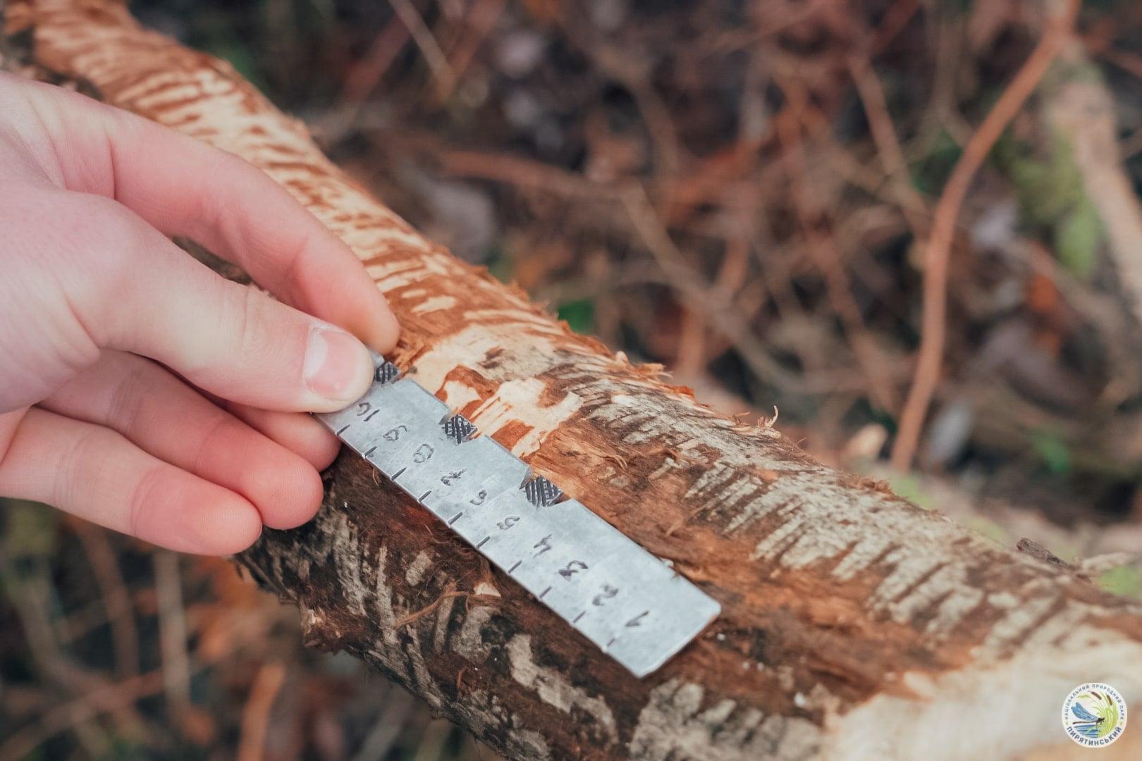 На перший другий розрахуйсь: в Україні розпочався «перепис» бобрів - Тварини, тварина, захист тварин, екосистема, екологія - 01 bober6