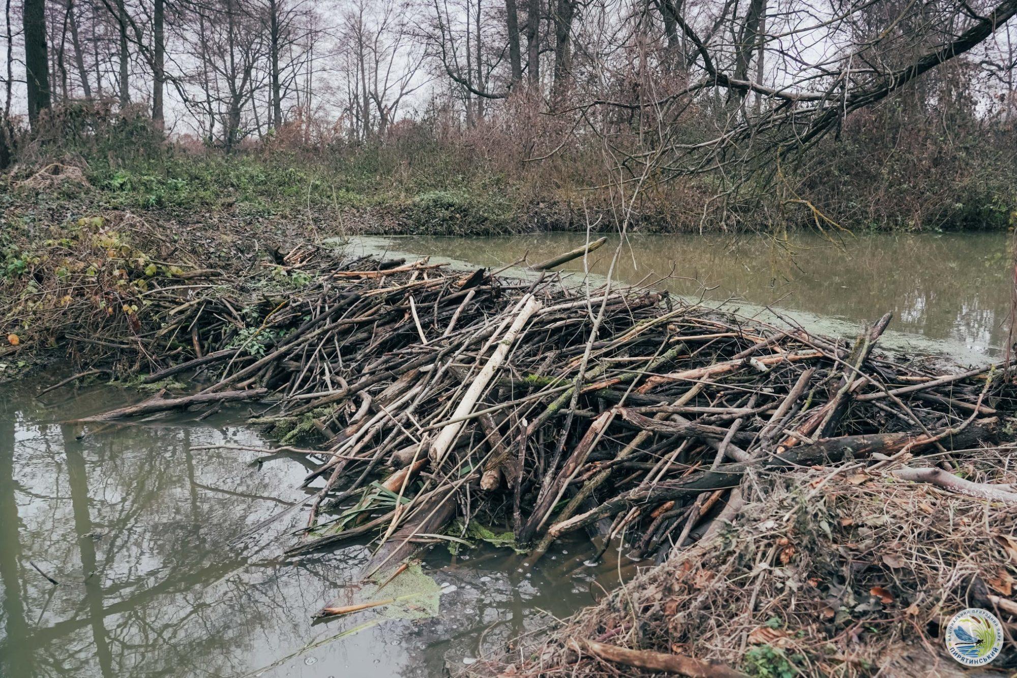 На перший другий розрахуйсь: в Україні розпочався «перепис» бобрів - Тварини, тварина, захист тварин, екосистема, екологія - 01 bober7 2000x1334