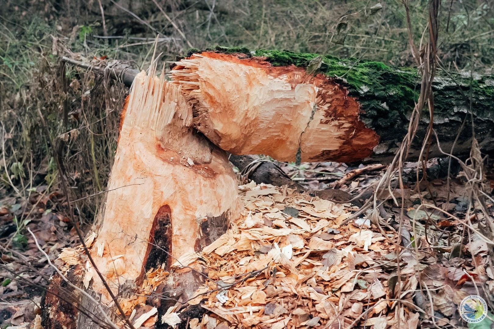 На перший другий розрахуйсь: в Україні розпочався «перепис» бобрів - Тварини, тварина, захист тварин, екосистема, екологія - 01 bober8