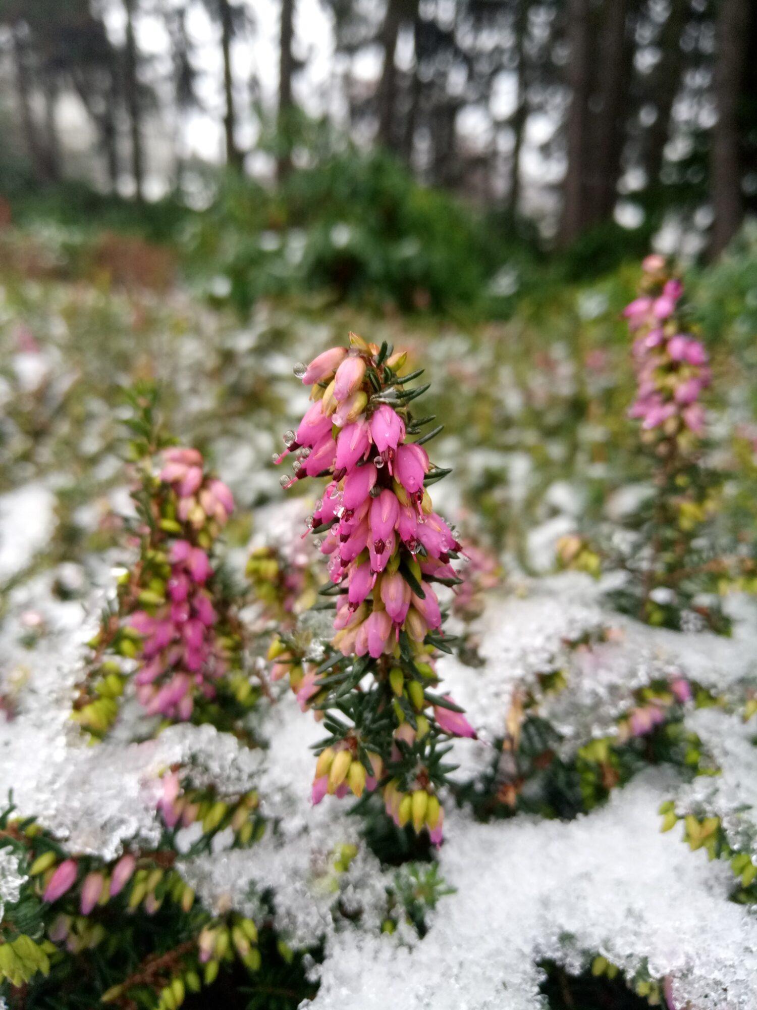 На два місяці раніше: в столичному ботсаду зацвіла альпійська рослина - цвіте, рослини, Рослина, Ботанічний сад - 06 tsvetok 1500x2000
