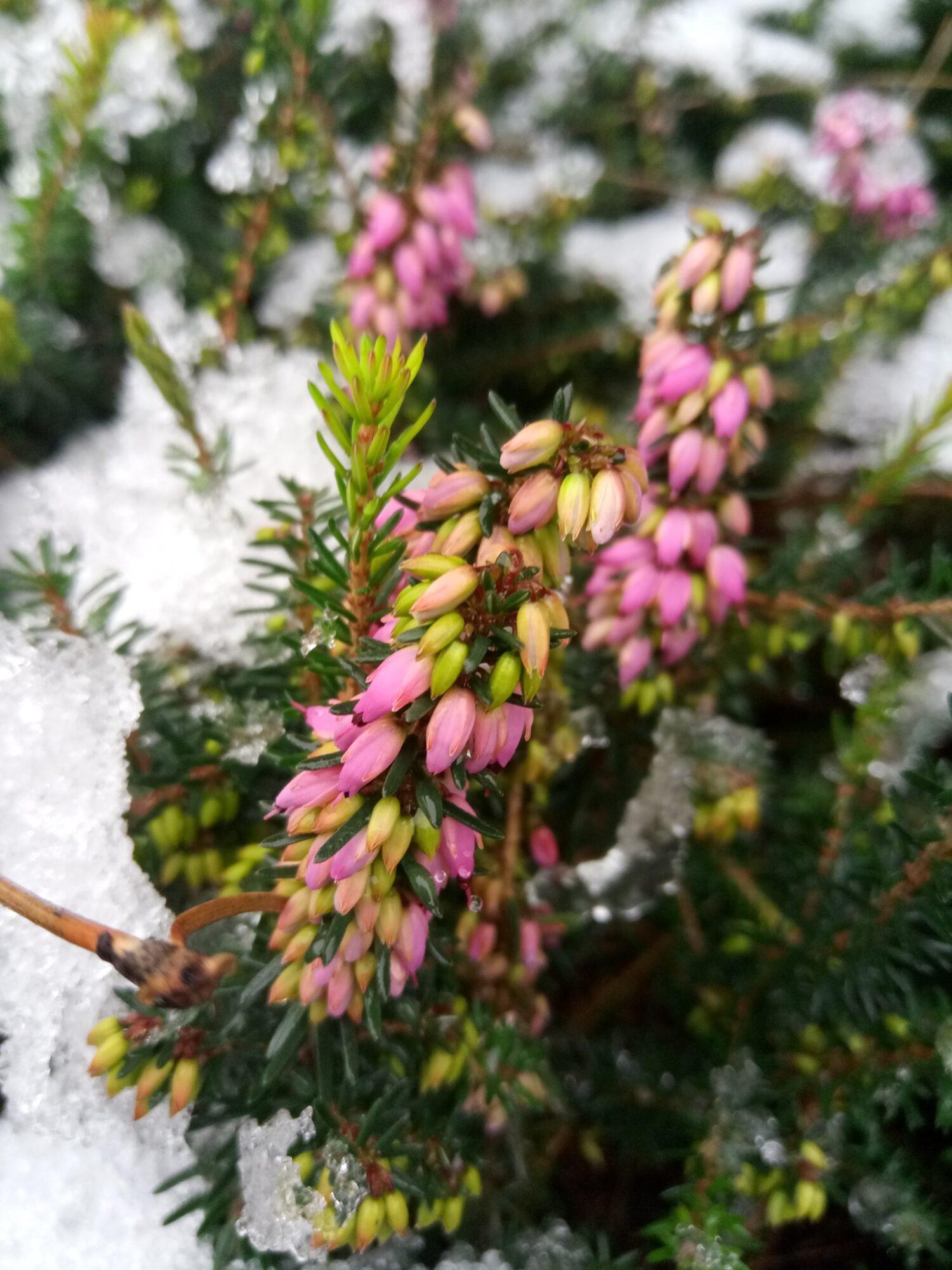 На два місяці раніше: в столичному ботсаду зацвіла альпійська рослина - цвіте, рослини, Рослина, Ботанічний сад - 06 tsvetok2 1500x2000
