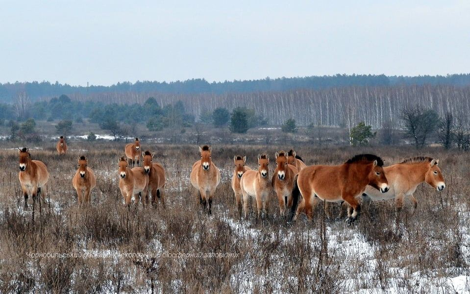 У Чонобильській зоні знайшли коней Пржевальського з зашморгами на шиях (фото 18+) - Чорнобильський заповідник, Чорнобильська зона, Тварини, захист тварин, браконьєрство, браконьєри - 07 kony3