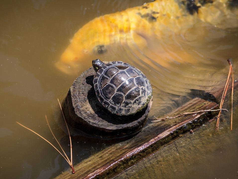 На Синьому озері у Києві з-під льоду врятували 40 черепах - черепахи, Тварини, порятунок життя, озеро, захист тварин - 09 cherepahy3