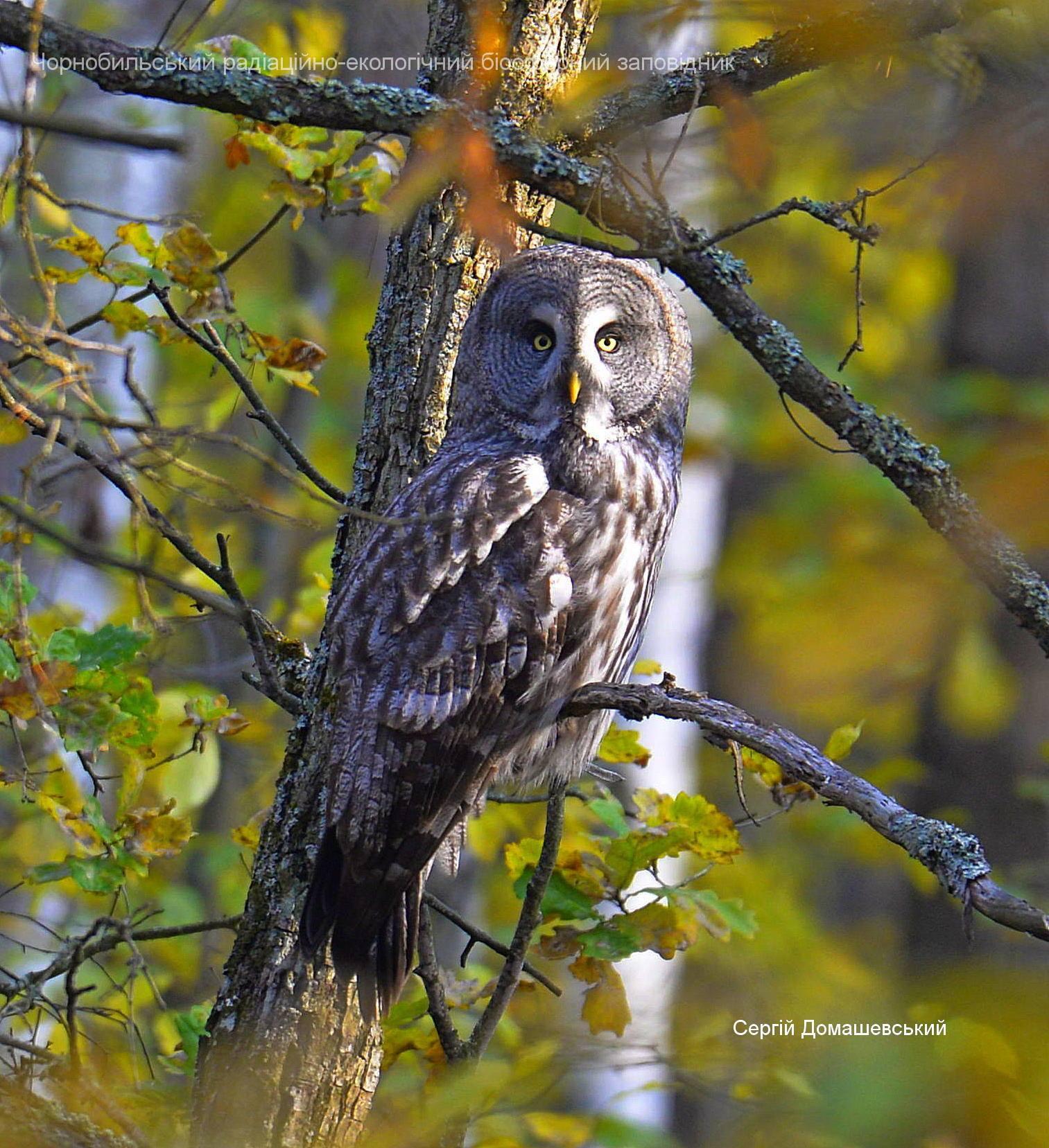 У Чорнобилі мешкає рідкісна сова, яка нападає на дослідників - Птахи, природа, Зона відчуження - 128419816 821484825075273 2529020000085692879 o