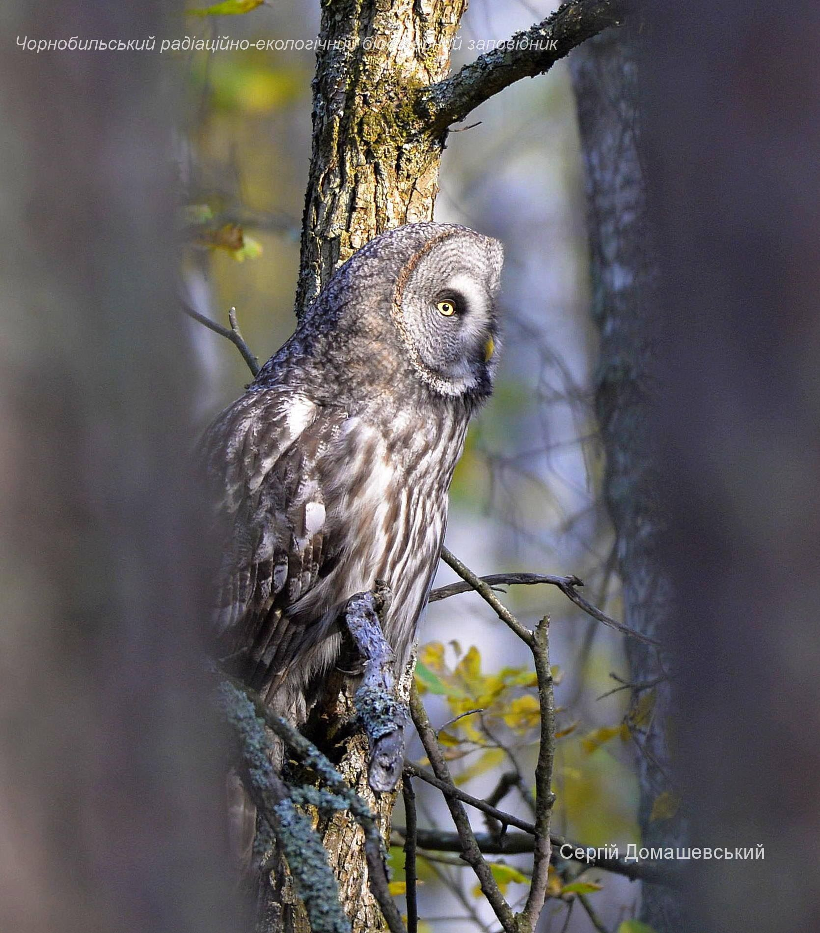 У Чорнобилі мешкає рідкісна сова, яка нападає на дослідників - Птахи, природа, Зона відчуження - 128783002 821484828408606 4853757773848092286 o