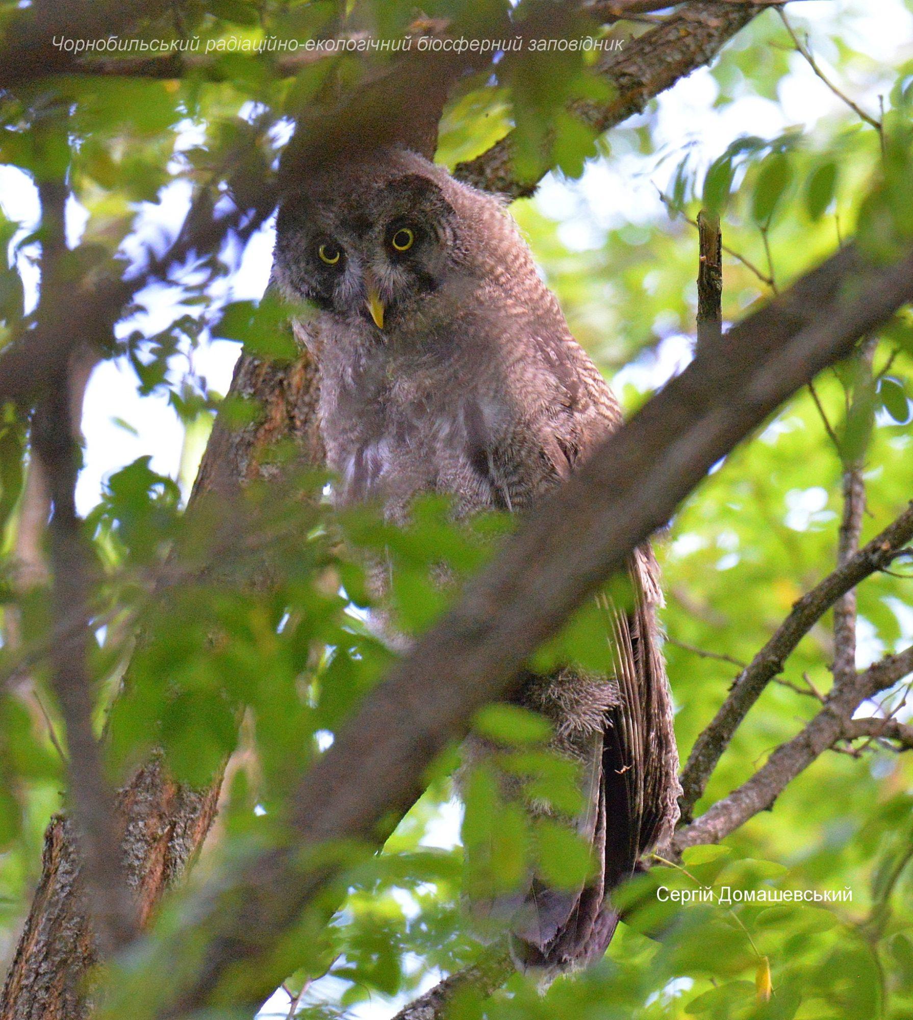 У Чорнобилі мешкає рідкісна сова, яка нападає на дослідників - Птахи, природа, Зона відчуження - 128784220 821484838408605 4993320078495353391 o 1790x2000
