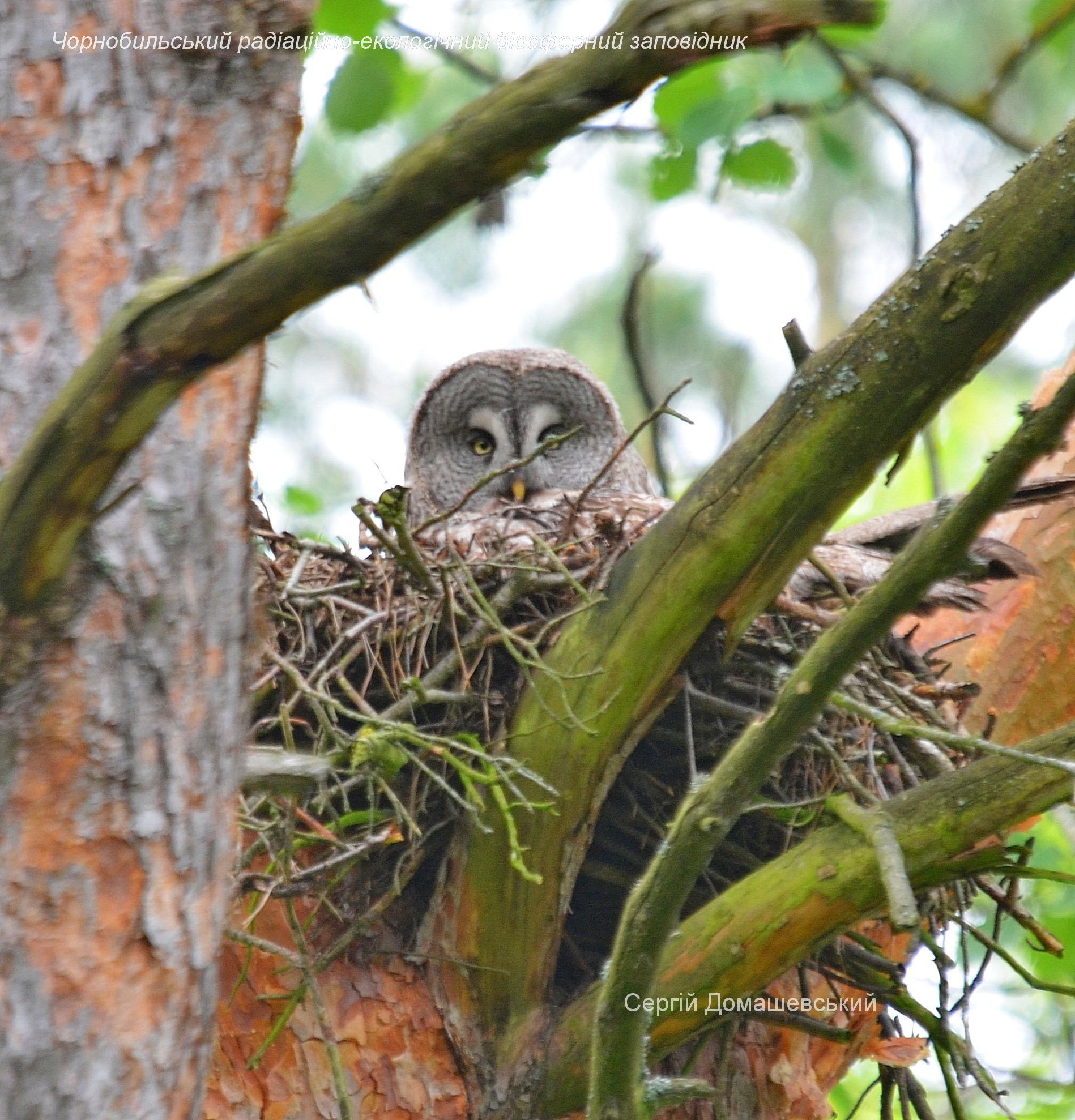 У Чорнобилі мешкає рідкісна сова, яка нападає на дослідників - Птахи, природа, Зона відчуження - 129123599 821484831741939 8124370846561917318 o