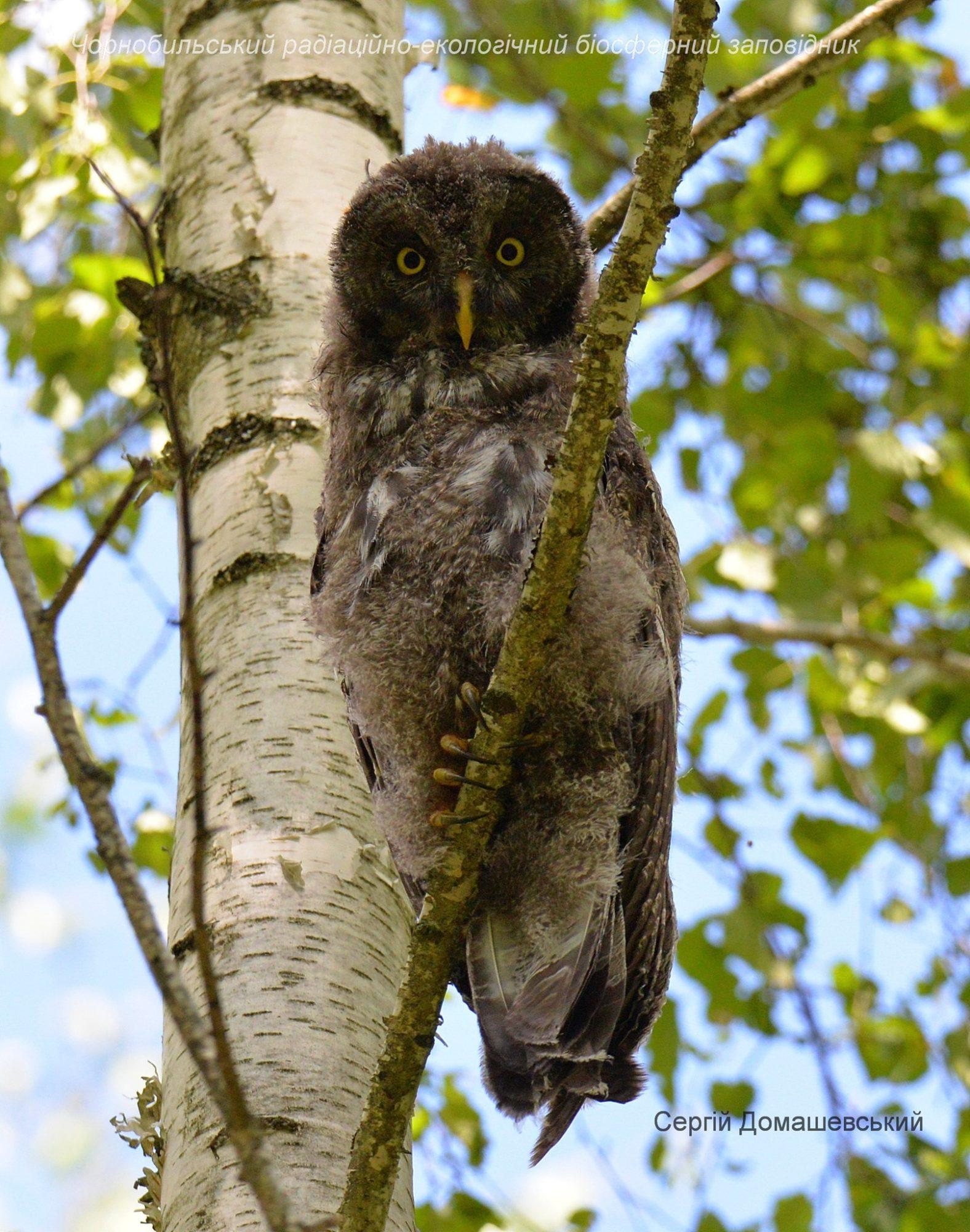 У Чорнобилі мешкає рідкісна сова, яка нападає на дослідників - Птахи, природа, Зона відчуження - 129143231 821484835075272 888564316327172901 o 1576x2000