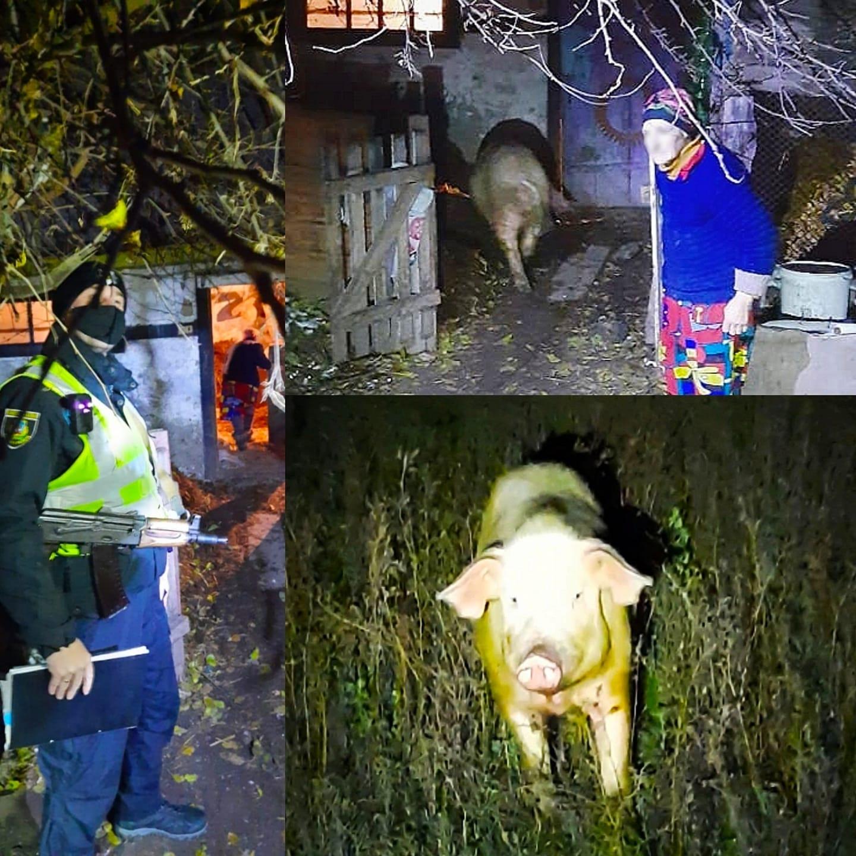 Бориспільські поліцейські шукали свиню - свиня, поліція Борисполя - 129157027 2731534427059115 5414999051164185957 o