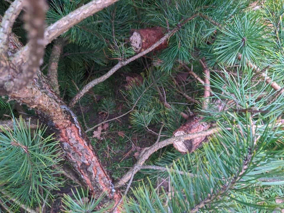 На ялинкових ринках Обухівщині вилучили незаконно зрубані дерева - Ялинки, незаконний продаж, незаконне вирубування лісу - 132042119 2257389351072496 6416929655584346081 n