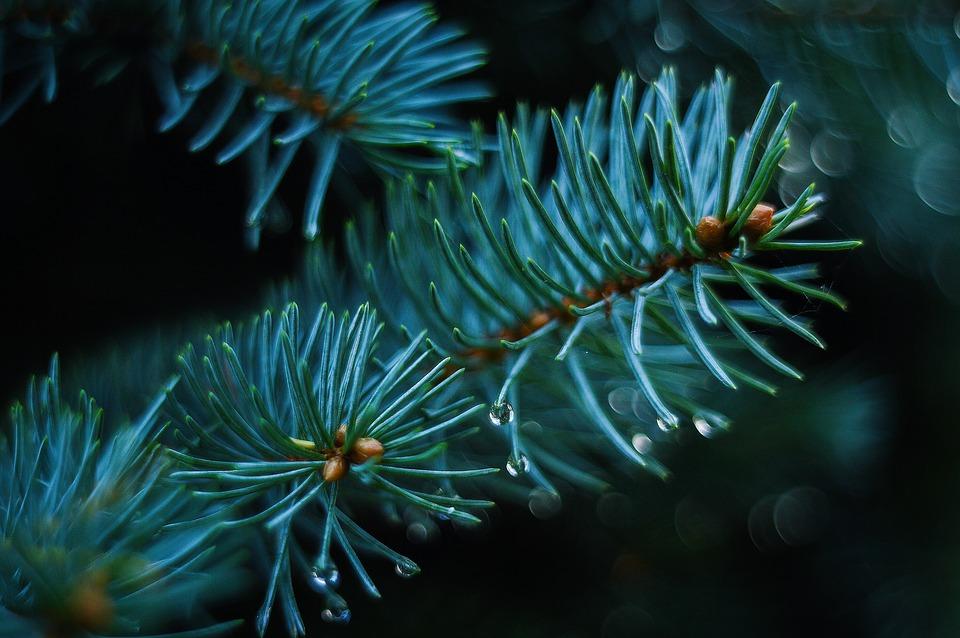 До Нового року в Україні виростили більше 2,5 млн ялинок, ялиць та сосен - Ялинки, ялинка, новорічне дерево, новорічна ялинка, Новий рік - 16 elka