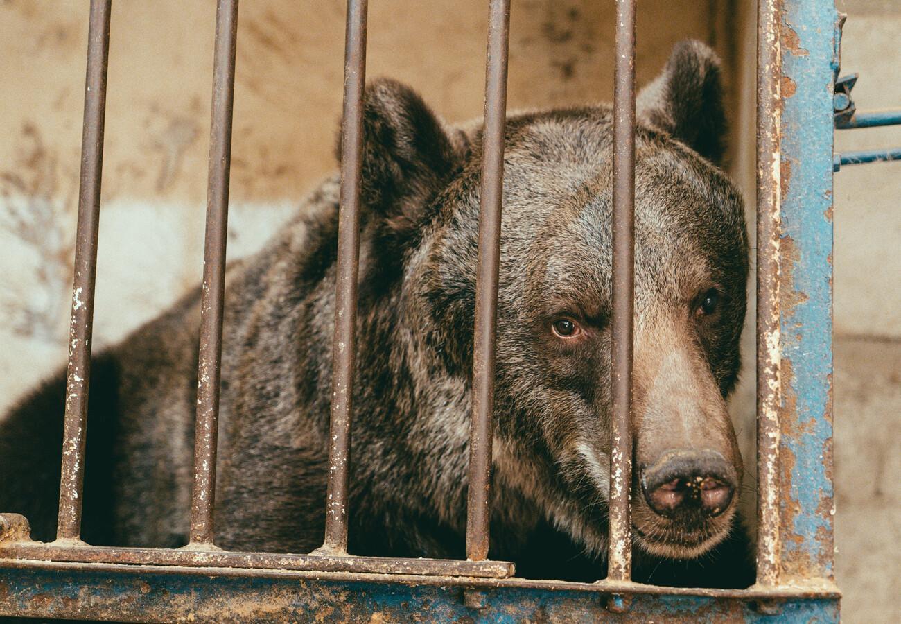 Ведмедицю з українського цирку врятували і перевезли у швейцарський заповідник - цирк, Тварини, захист тварин, заповідник, ведмідь - 16 medved