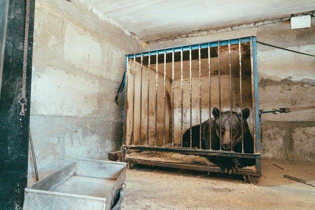 Ведмедицю з українського цирку врятували і перевезли у швейцарський заповідник - цирк, Тварини, захист тварин, заповідник, ведмідь - 16 medved2