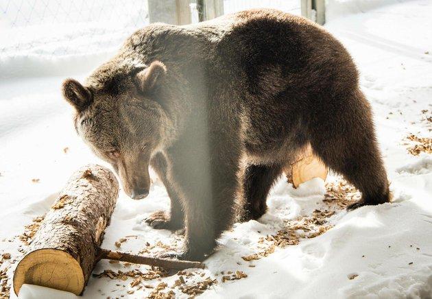 Ведмедицю з українського цирку врятували і перевезли у швейцарський заповідник - цирк, Тварини, захист тварин, заповідник, ведмідь - 16 medved3