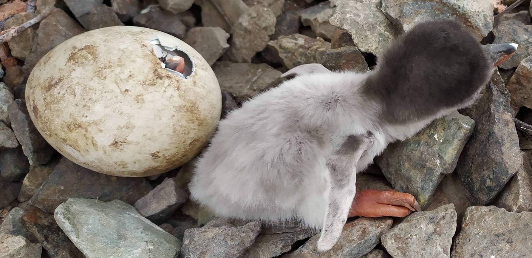 Біля станції «Академік Вернадський» з'явились малюки дженту - Птахи, природа, Антарктика - Pingvin2