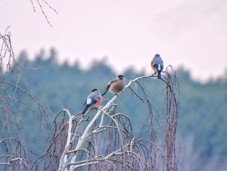 Снігурі поблизу Переяслава - Птахи, природа, Переяслав, київщина - Sniguri 1