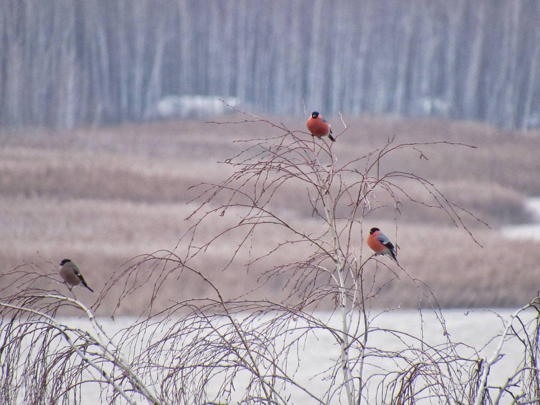 Снігурі поблизу Переяслава - Птахи, природа, Переяслав, київщина - Sniguri 2