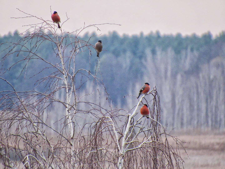 Снігурі поблизу Переяслава - Птахи, природа, Переяслав, київщина - Sniguri 3