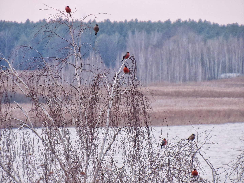 Снігурі поблизу Переяслава - Птахи, природа, Переяслав, київщина - Sniguri 4