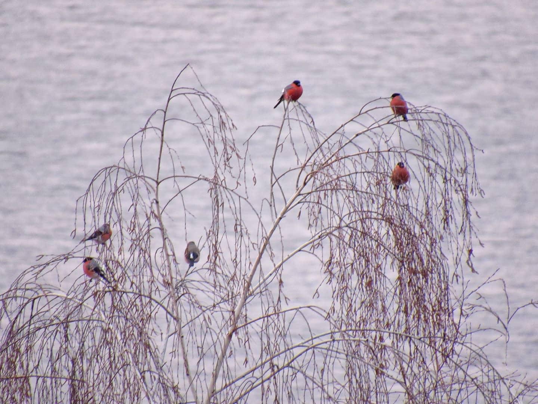 Снігурі поблизу Переяслава - Птахи, природа, Переяслав, київщина - Sniguri 5