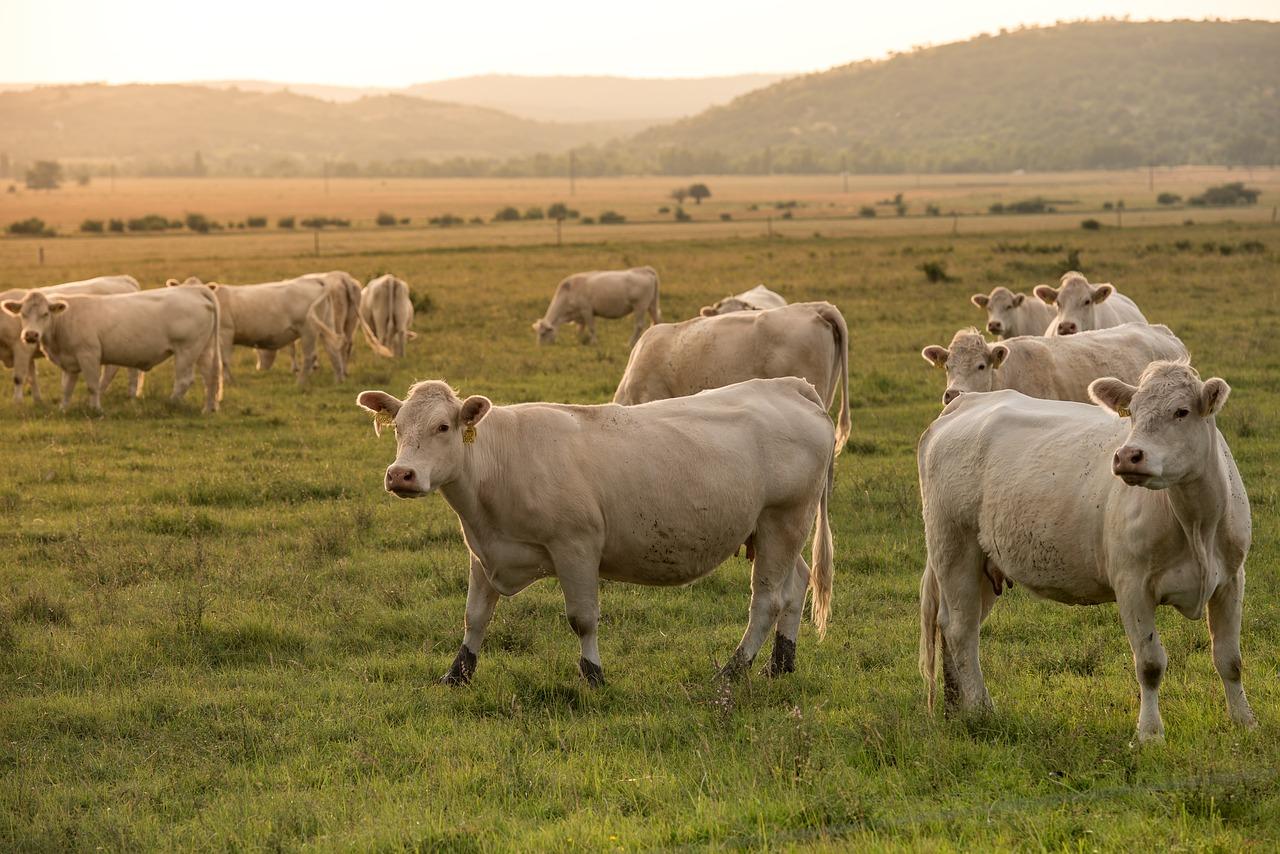 Чому для селян корови стали предметом розкоші? - фермерське господарство, тварина, села - beef 3541869 1280