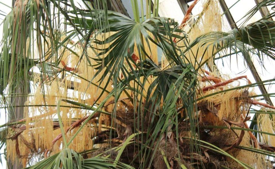 Тропіки у сніжному Києві: в ботсаду зацвіла двохсотрічна пальма - цвіте, дерево, Ботанічний сад - 01 2
