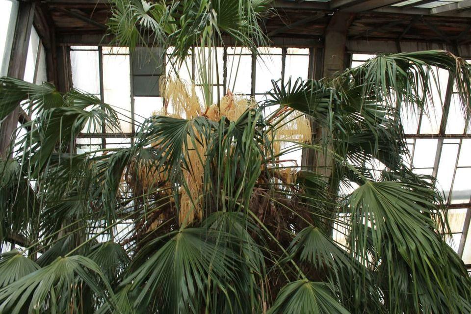Тропіки у сніжному Києві: в ботсаду зацвіла двохсотрічна пальма - цвіте, дерево, Ботанічний сад - 03 1