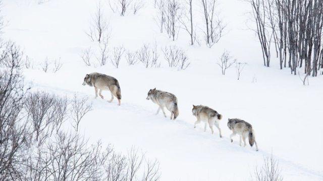 На Переяславщині відстрілюють вовків - Переяслав, лісництво, дикі тварини - 105754713  103897965 a19ff772 080c 4c79 abee 535f0567605e