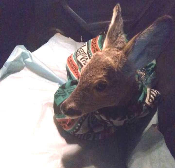 Бориспільщина: травмована козуля померла - порятунок життя, козуля, дикі тварини - 148819046 759352754764140 1151953921683019698 n 1