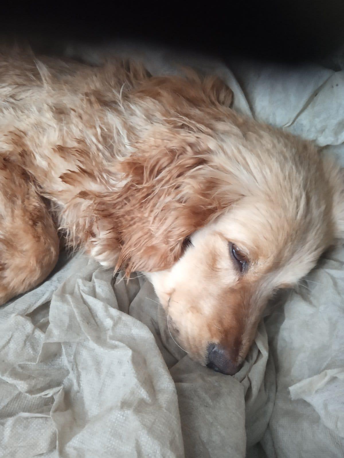 На Бориспільщині нелюди прив'язали та покинули собаку на засніженому полі - собака, порятунок життя - 149426901 3823685374378152 5283863395437562003 o
