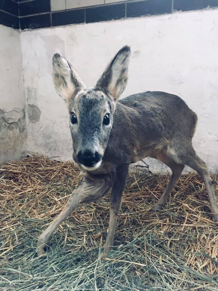 Бориспільщина: травмована козуля померла - порятунок життя, козуля, дикі тварини - 151697208 763447531021329 8548382146377194759 n