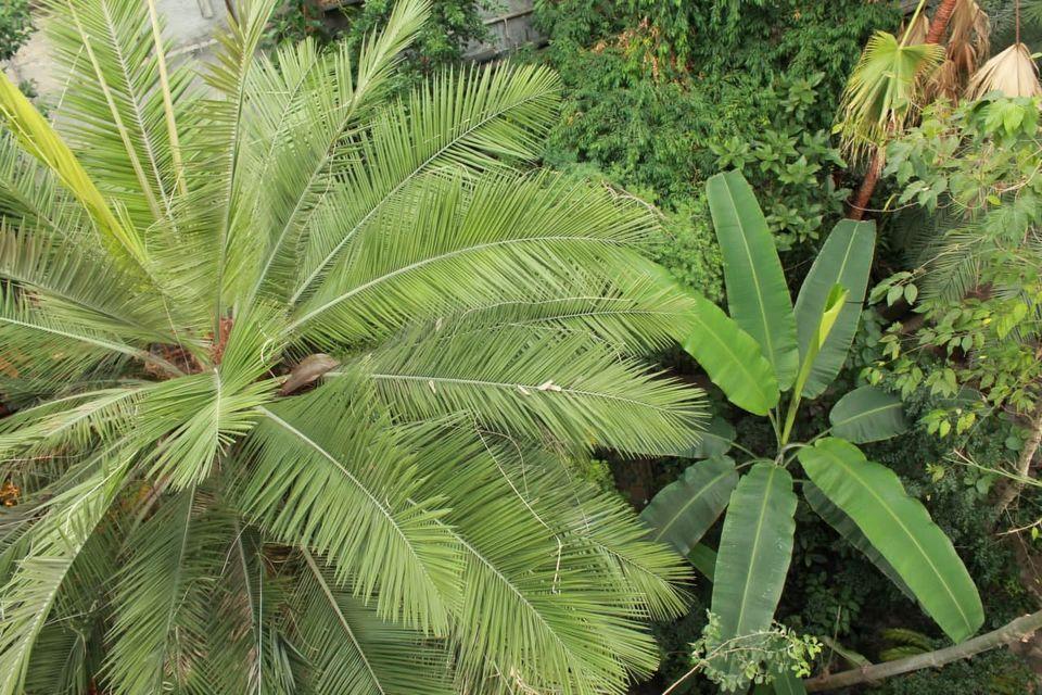 Тропіки у сніжному Києві: в ботсаду зацвіла двохсотрічна пальма - цвіте, дерево, Ботанічний сад - 16
